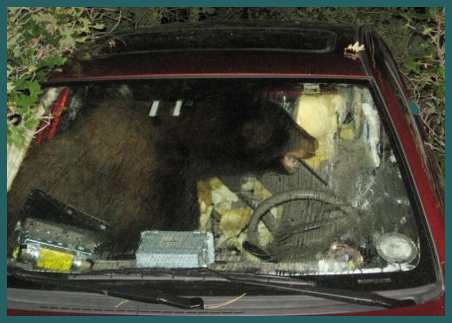 Bear in Colorado Car